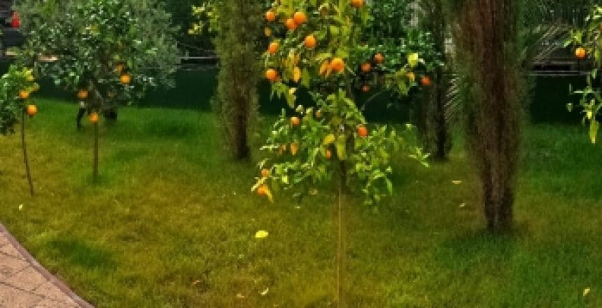 THE 2014 HARVEST OF ORANGES AND OLIVES IN THE GARDEN OF MESSEMBRIA PALACE 2